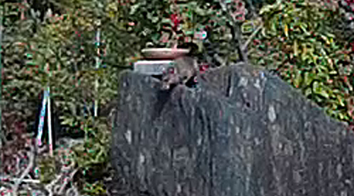 シジュウカラ餌台のネズミ