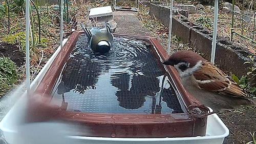 水浴び シジュウカラ スズメ