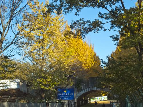 昭和記念公園 砂川口前庭のイチョウ