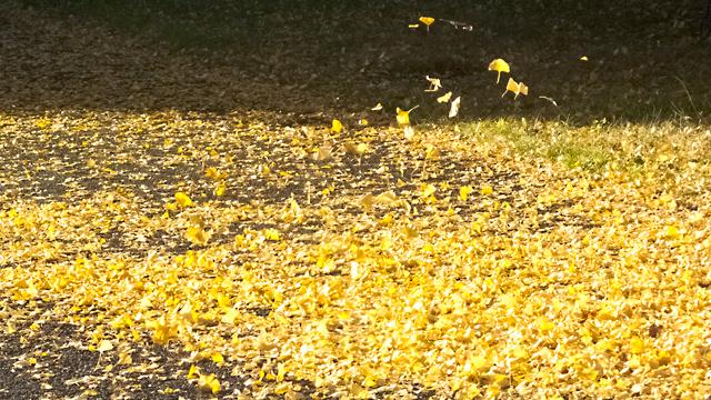 昭和記念公園 イチョウ落ち葉