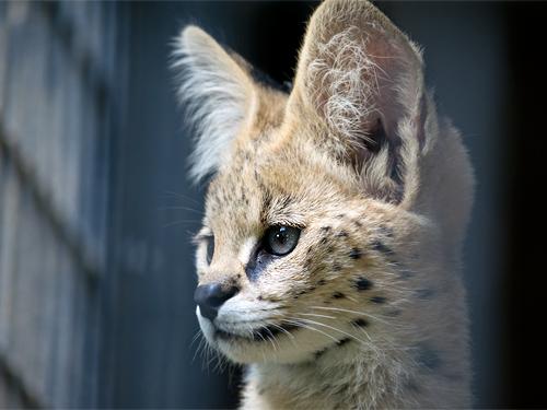 サーバル子猫