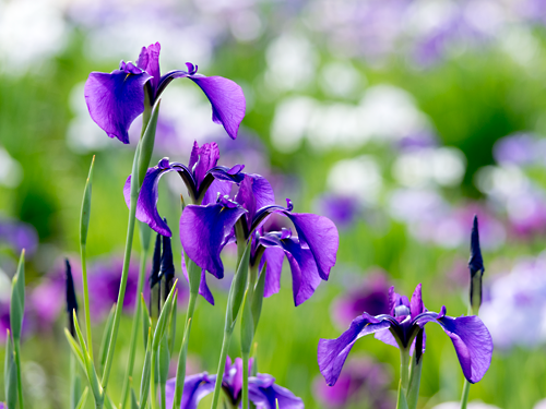 ハナショウブ紫