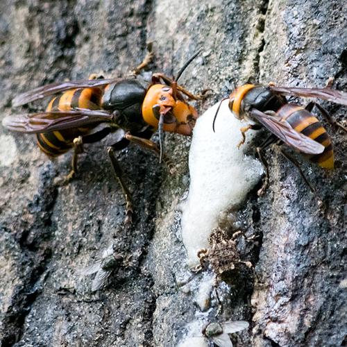 樹液発酵 オオスズメバチ