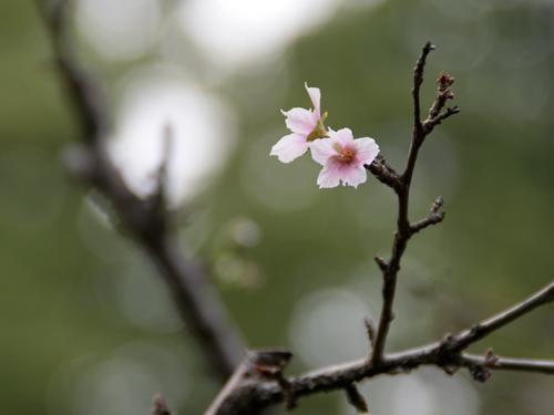 マメザクラ狂い咲き