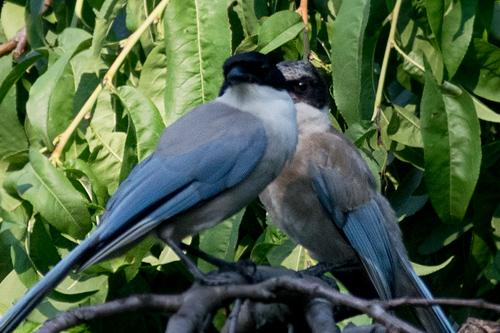 オナガ成鳥と幼鳥