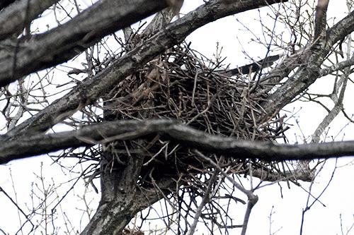 オナガの巣