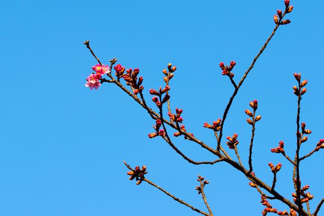 河津桜咲き始め