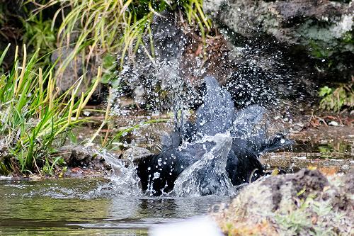 カラス水浴び