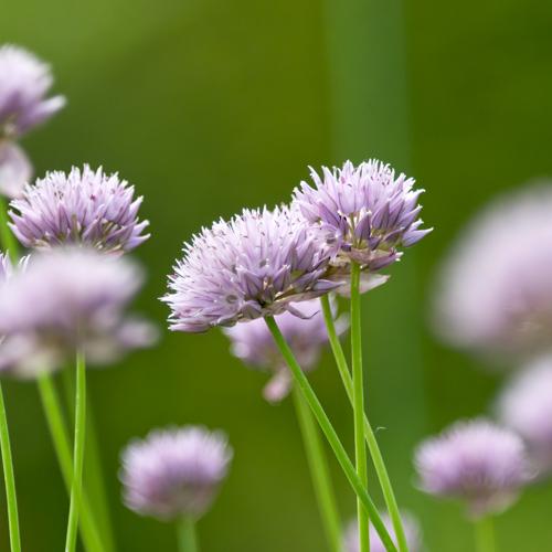 あさつきの花