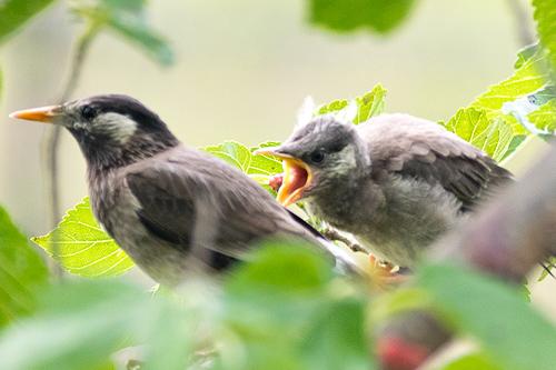 ムクドリ巣立ち雛