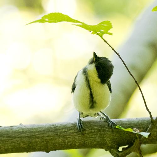 シジュウカラ巣立ち雛