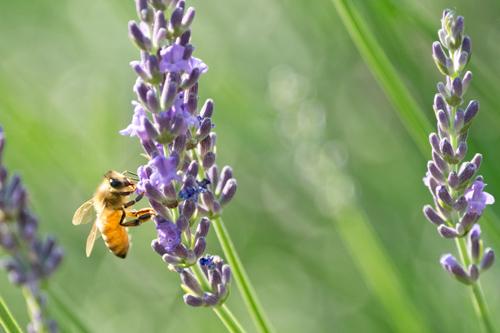 ラベンダーとセイヨウミツバチ