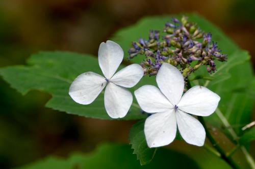 五葩の紫陽花