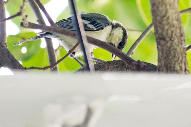 シジュウカラ幼鳥