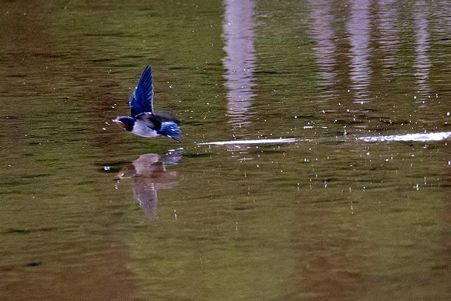 ツバメ幼鳥 水飲み
