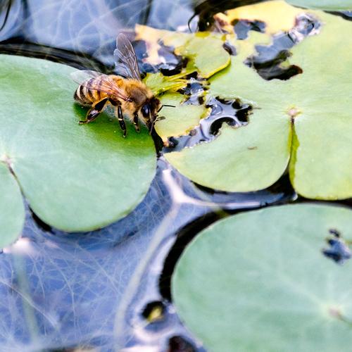 ミツバチ水飲み