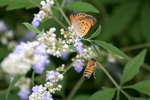 ベニシジミ、ニホンミツバチ